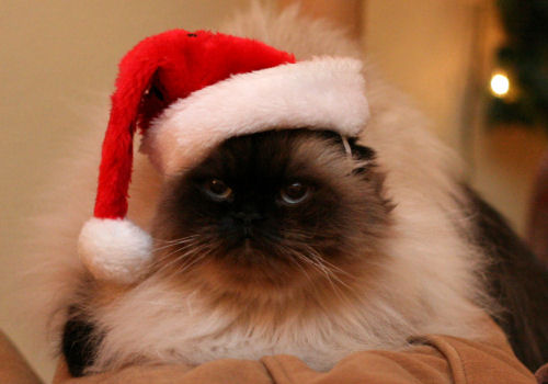 Cat in a Santa Hat